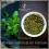 Menthe impériale du Vietnam, thé vert bio